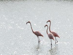Flamingos in der Cienaga