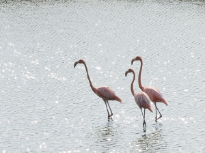 Flamingos in der Cienaga