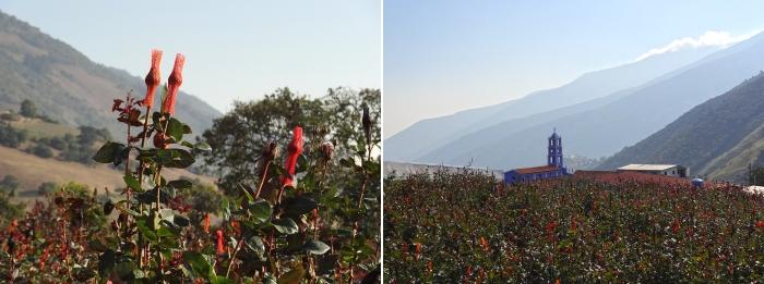 Rosenfelder mit Strümpfen säumen den Weg