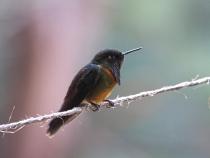 Kolibri auf der Finca La Huérfana