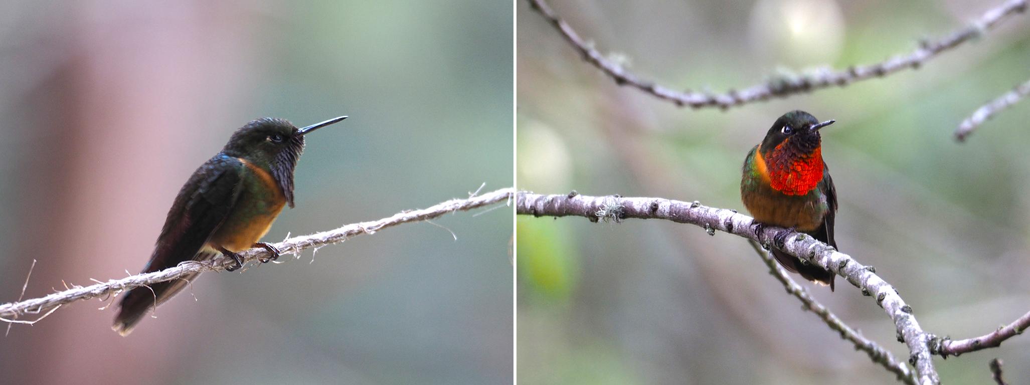 Kolibri-Beobachtung
