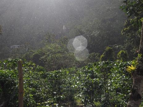 Regen fällt durch die Kaffeepflanzen