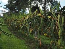 Pittaya-Plantage