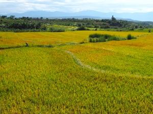 Reisfelder soweit das Auge reicht