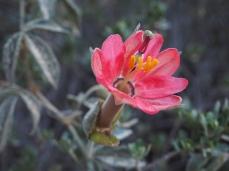 Eine Passionsblume hält eine kurze Weile dem Staub stand