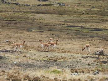 Heute sehe ich zum ersten Mal Vicuñas, die wilden Verwandten der Alpacas