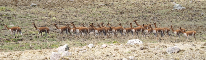 Und noch mehr Vicuñas