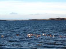 Bei Porvenir tummeln sich die Flamingos