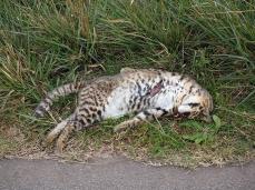 Ein Strassenopfer. Leider keine normale Katze, sondern ein Gato montés, eine Wildkatze. Die hätte ich lieber lebend angetroffen.