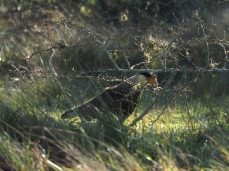Ein Southern Crested Caracara sucht Äschen für sein Nest