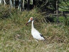 Ein Maguari Storch versucht zu fliehen