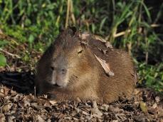 Ein Capybara beim Sonnenbaden
