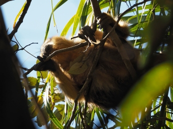 Ein Brüllaffe klettert hoch über mirin den Bäumen