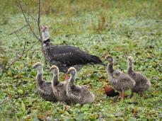 Die Chajá Familie durchstreift das Sumpfland