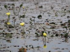 Die gelben Blüten der Amapola de Agua