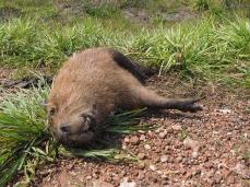 Auch dem Capybara erging's nicht besser