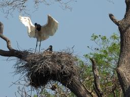 Ein Jaribu tanzt in seinem Nest