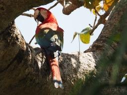 Ein Roter Ara krächzt hoch oben im Geäst