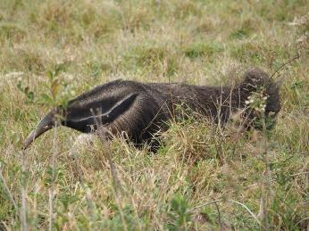 Am späten Nachmittag taucht auch er auf, der grosse Ameisenbär
